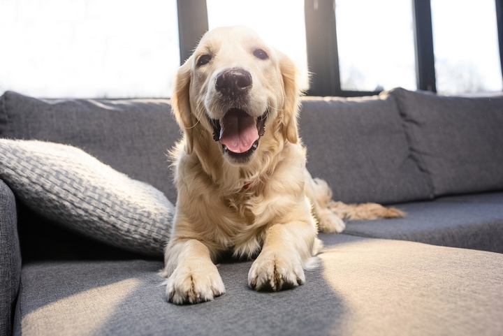 Tips on How to Keep Your Golden Retriever Happy